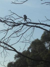 12th April 2013 Kookaburra on 15th tee..jpg